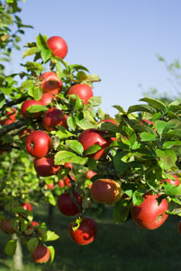 apples-on-a-tree-branch