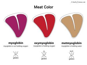 colors of myoglobin
