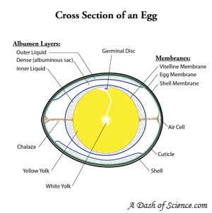 Cross section of an egg from A Dash of Science.com